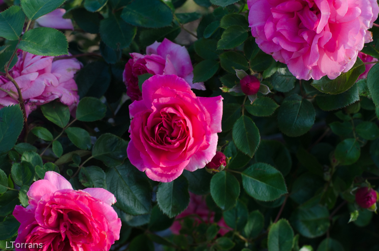Prairie_Breeze_Pink_Shrub_Rose_Texas_Dallas_April-2