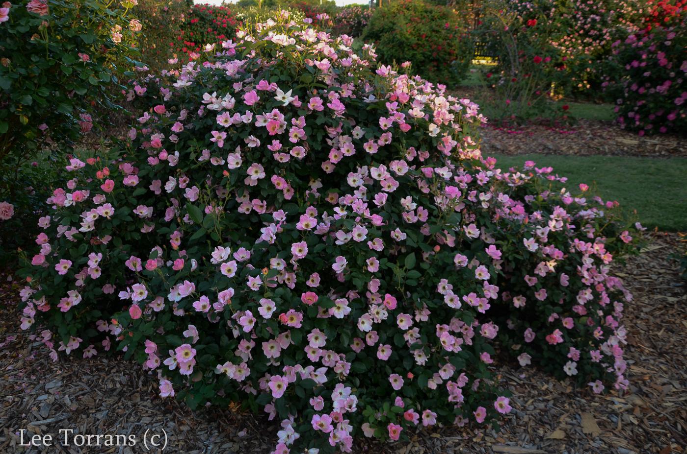 Knockout Roses – Lee Ann Torrans Gardening