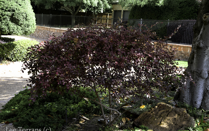 The ruby colored barberry is a common complimentary shrub to the Japanese Maple.