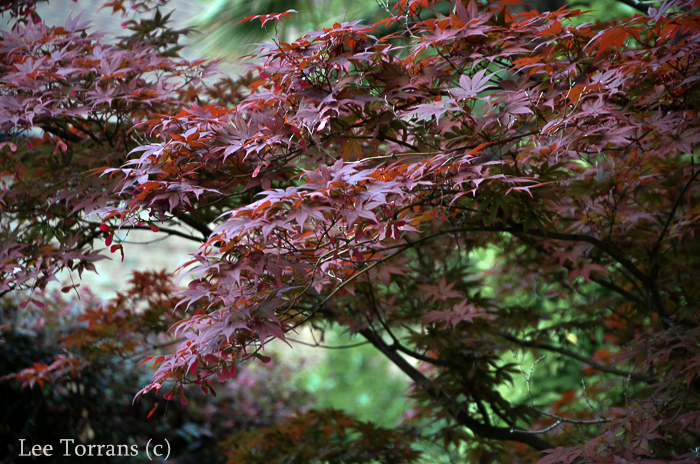 These are the broad leaves of a full sized Japanese Maple. This is Emperor One a popular full sized Japanese Maple.