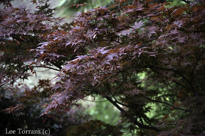 Loropetalum - and Japanese Maple Combination