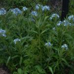 Blue Star Texas Perennial