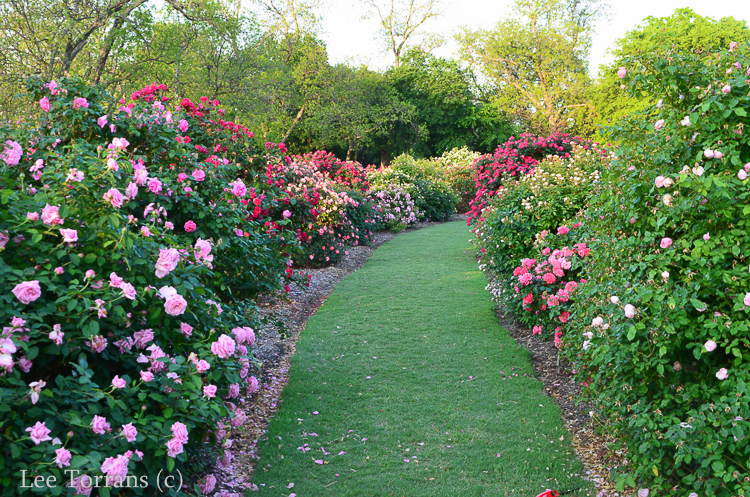 Hedge Row of Roses for Texas