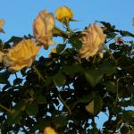 Centennial a Texas Grandiflora Yellow Rose