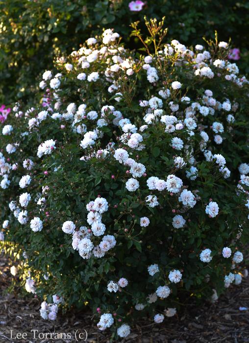 Cinderalla, Miniature Rose for Texas.