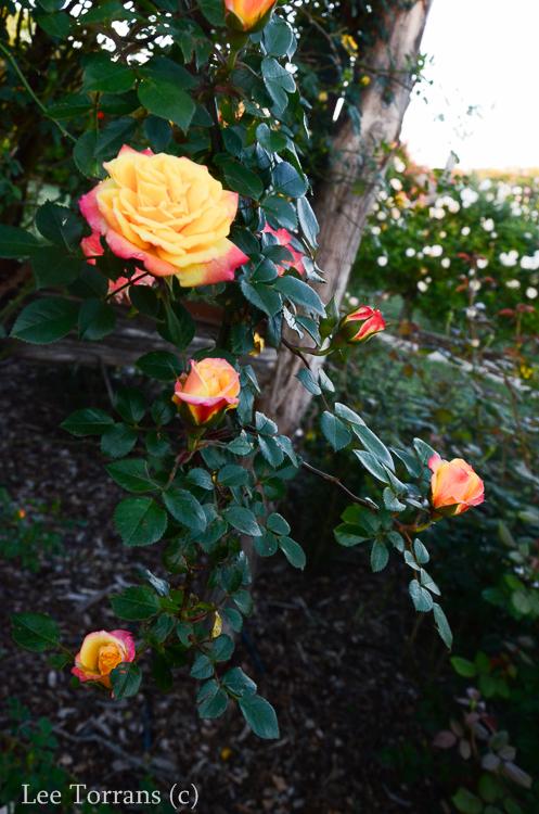 Climbing_Rose_Multicolor_Texas_Lee_Ann_Torrans-4