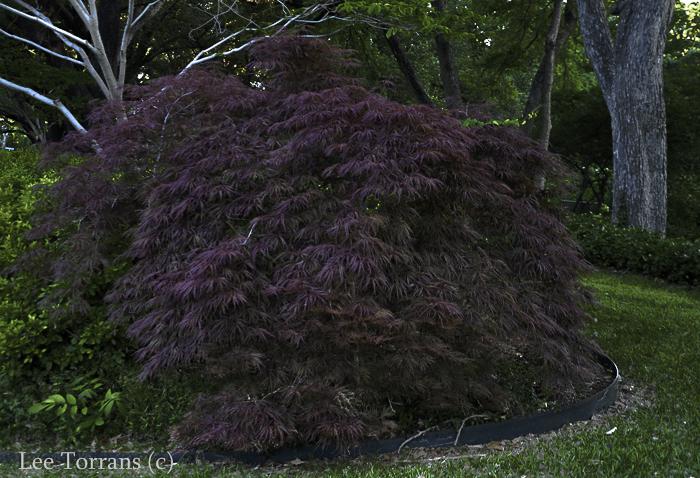 Crimson Queen in May Japanese Maple Burgundy