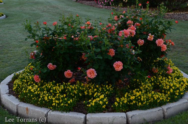 Dick Clark Grandiflora Rose for Texas = Portland Winner 2011
