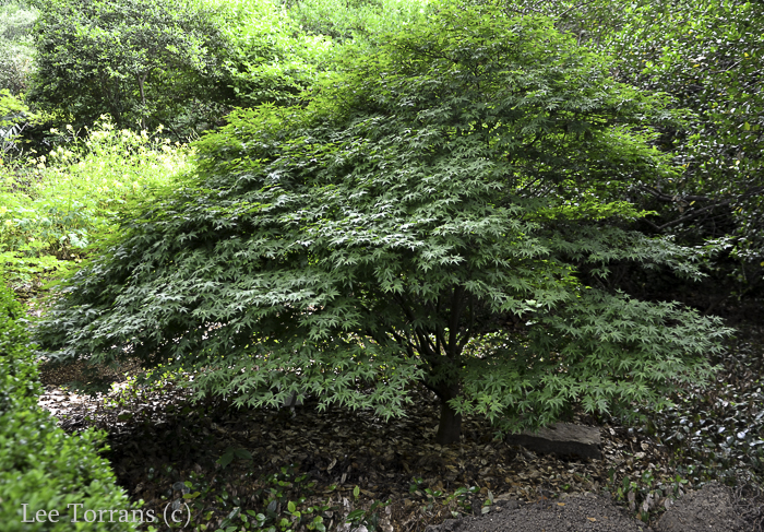 Full Leaf Mounding Dwarf Japanese Maple