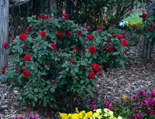 Europeana Red Floribunda Rose for Texas