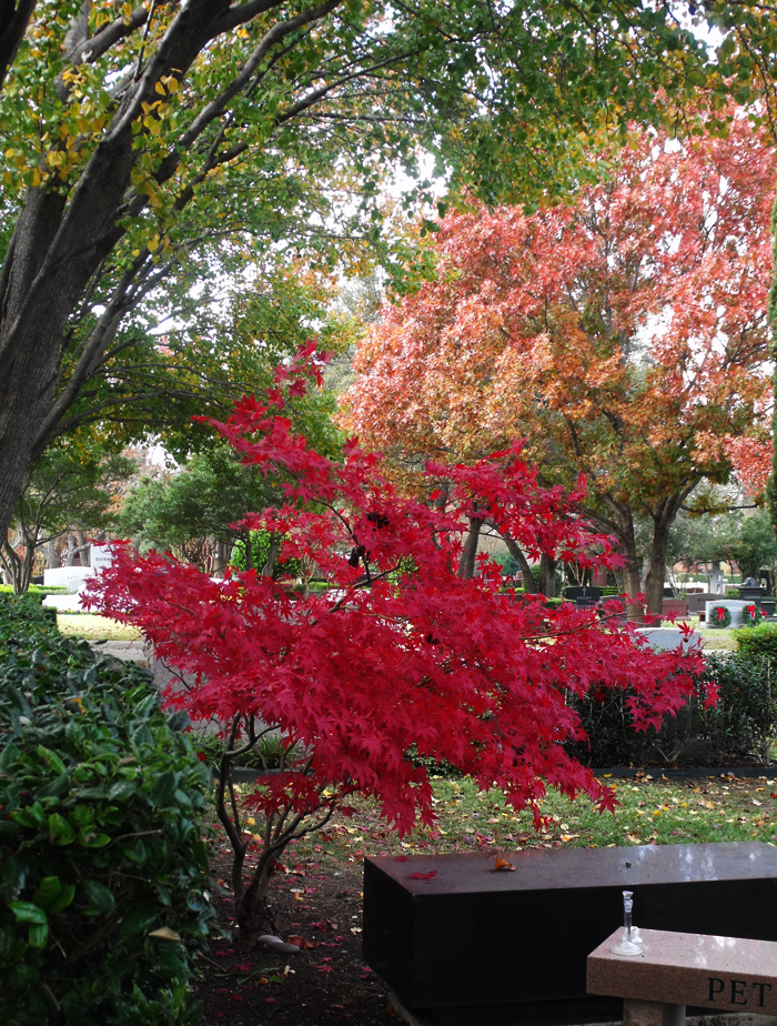 True Red Japanese Maple
