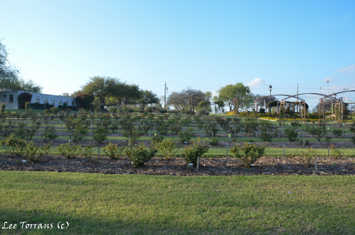 Farmers Branch Rose Garden Disaster Year Two