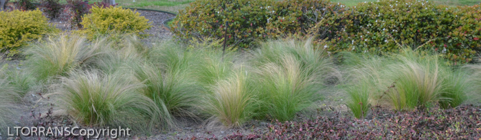 Mexican feather grass blows constantly undulating with the slightest breeze.