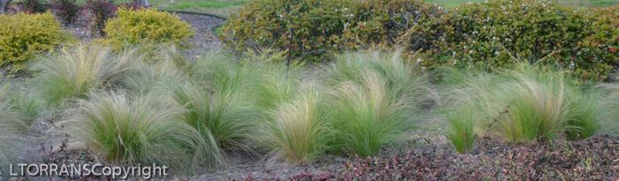 Feather-Grass-Texas