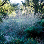 Grass_Ornamental_October_Dallas-1