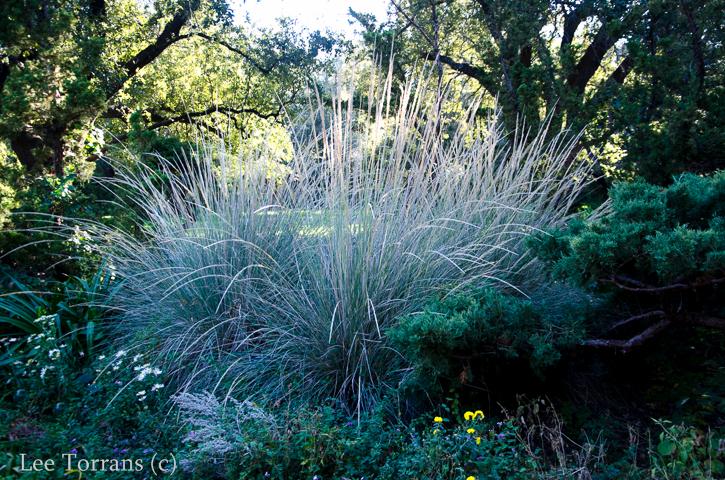 Dwarf Maiden Grass Gray Green Tones
