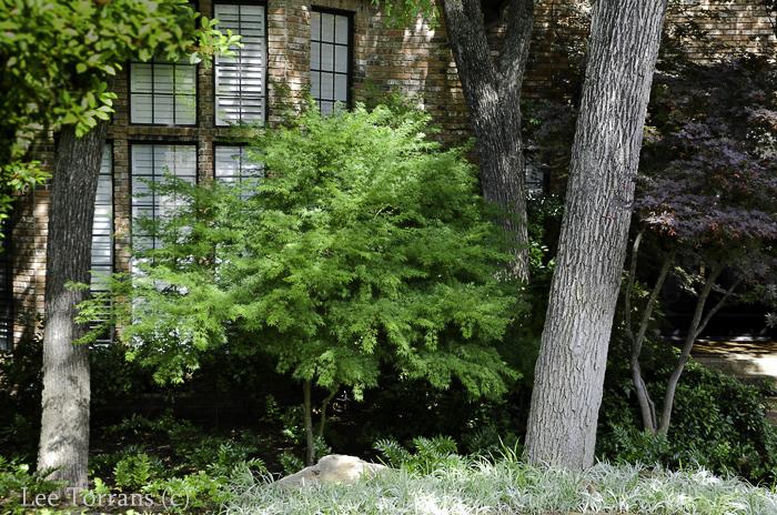 Green Dwarf Japanese Maple