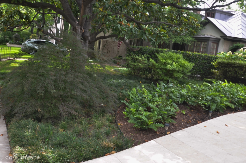 Shade gardening with Holly Fern and Japanese Maple