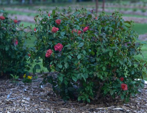 Hot Chocolate Texas Shrub Rose