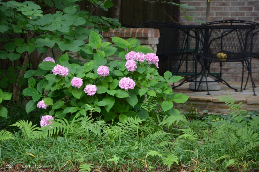 French Hydrangeas and Wood Fern