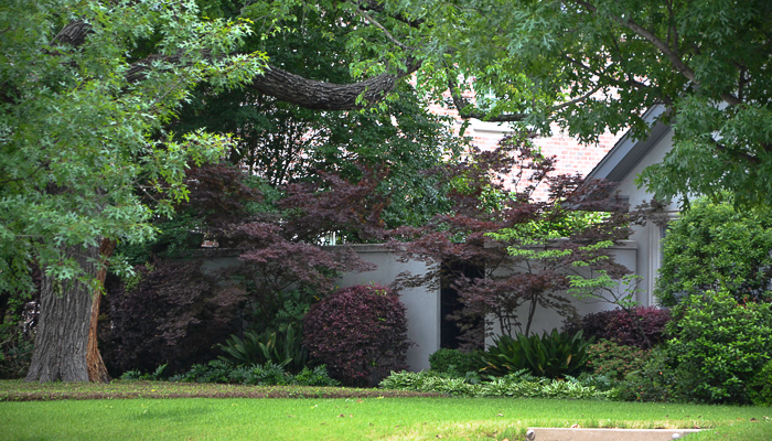 Emperor One Japanese Maple with purple barberry and cast iron, aspidistra, against gray walls. A common landscape design technique.
