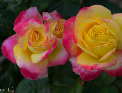 Love and Peace Texas Rose