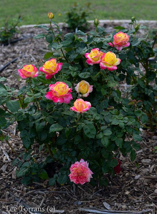 Love_And_Peace_Hybrid_Tea_Rose_Dallas_Texas_Lee_Ann_Torrans