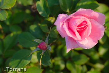 Maman_Cochet_Shrub_Rose_Texas_Dallas_April-2