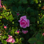 Maman_Cochet_Shrub_Rose_Texas_Dallas_April-3