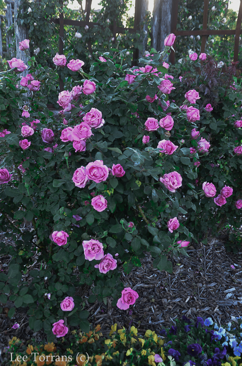 McCartney_Hybrid_Tea_Rose_Garden_Dallas_Texas_Lee_Ann_Torrans-2