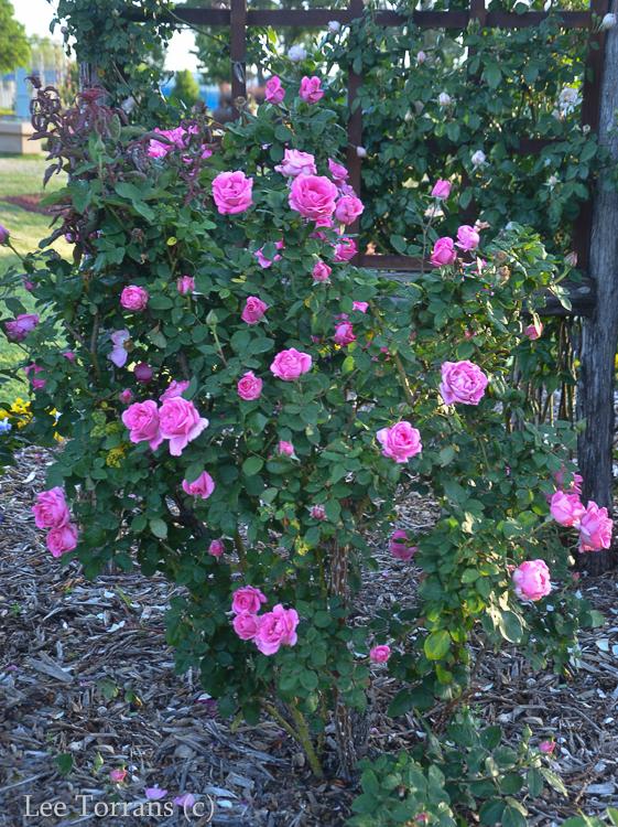 McCartney Hybrid Tea Rose for Texas