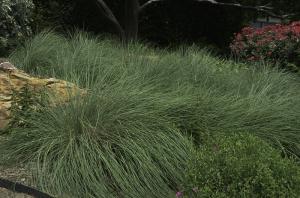 Mexican Feather Grass Texas Ornamental Grass