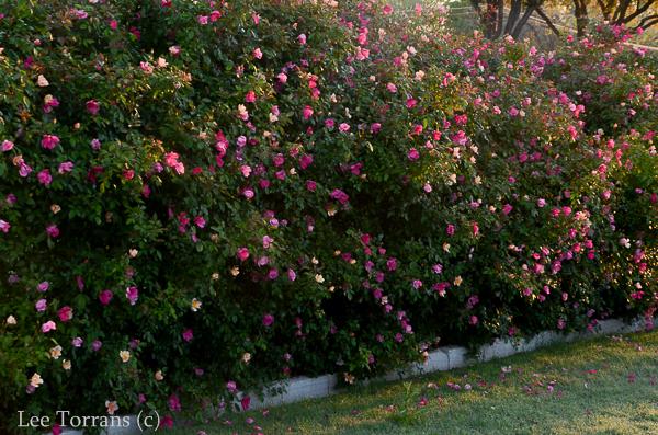 Mutabilis Antique Shrub Rose 2009 Eathkind Rose