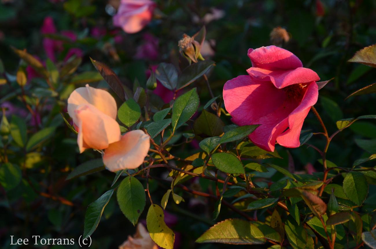 Mutabilis_Rose_Garden_Dallas_Texas_Lee_Ann_Torrans-4