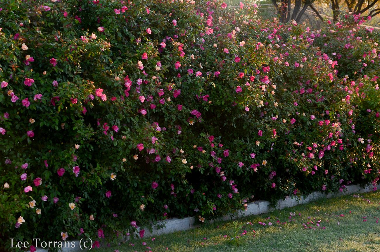 Mutabilis Antique Rose