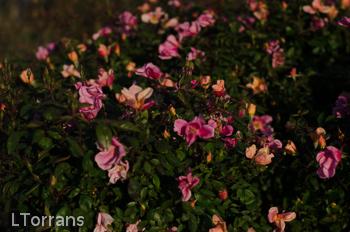 Mutabilis Antique Shrub Rose For Texas Lee Ann Torrans