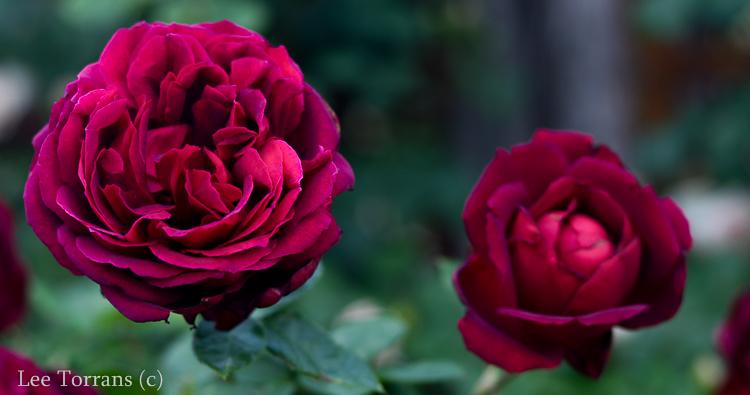 Oklahoma Grandiflora Rose