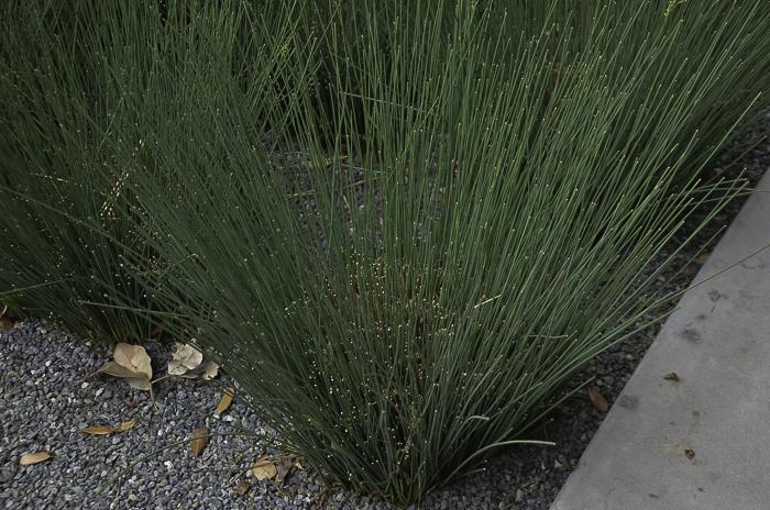 Texas Ornamental Grasses