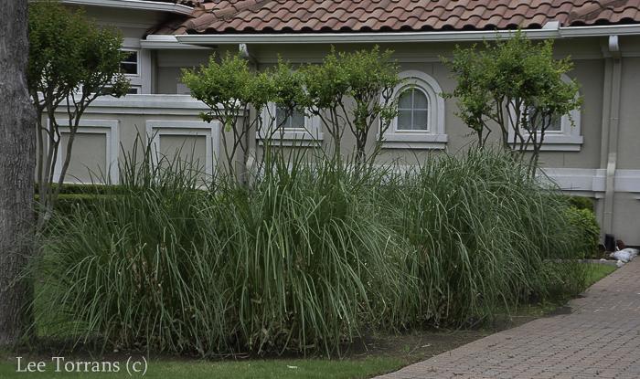 Ornamental Grass Texas