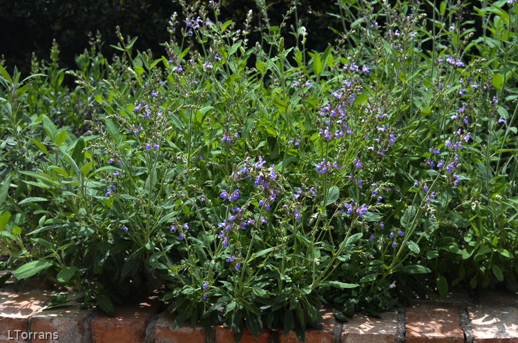 Purple Perennials May Bloomers in Texas
