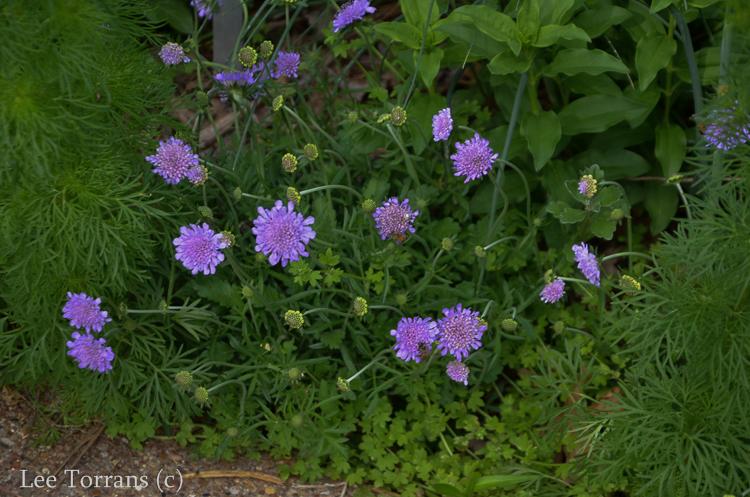 Pin_Cushion_Flower_Scabiosa_Perennial_Texas_Lee_Ann_Torrans