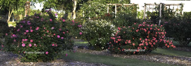 Prairie_Breeze_And_Seminole_Wind_Shrub_Roses_Texas