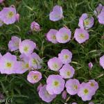 Primrose a Texas Perennial Sun or Shade