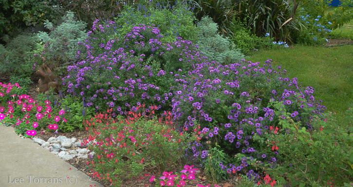 Purple_Daisy_Osterperosis_Dallas_Lee_Ann_Torrans-2