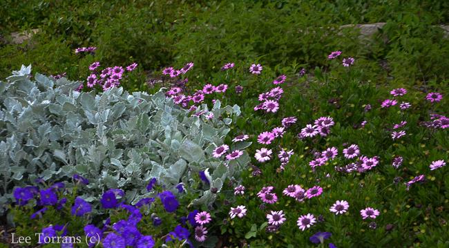 Purple_Daisy_Perennial_Texas_Lee_Ann_Torrans