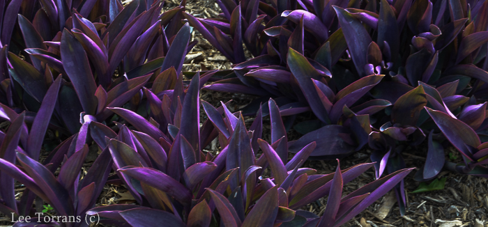 Purple_Heart_Perennial_Texas_Lee_Ann_Torrans