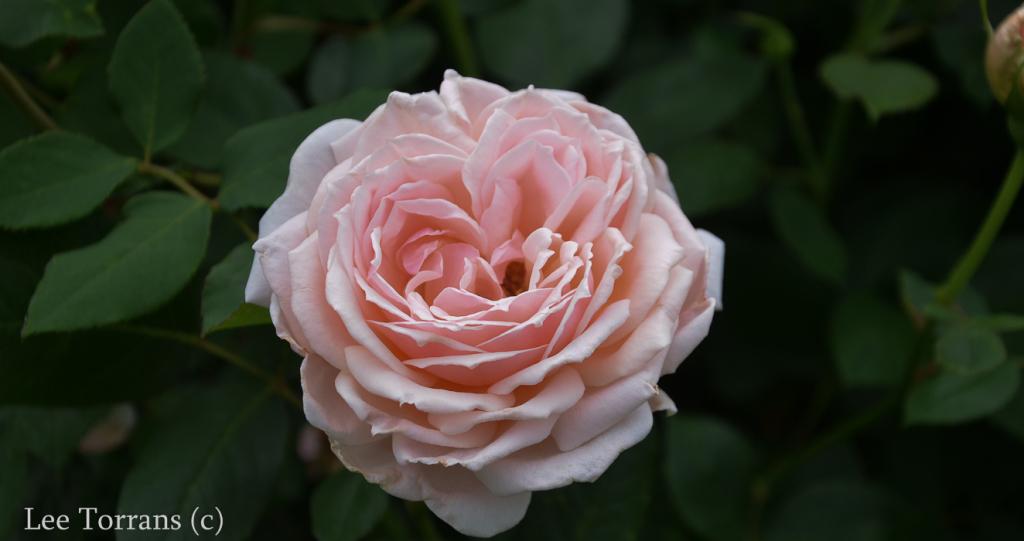 Quietness_Pale_Pink_Shrub_Rose_Texas_Lee_Ann_Torrans