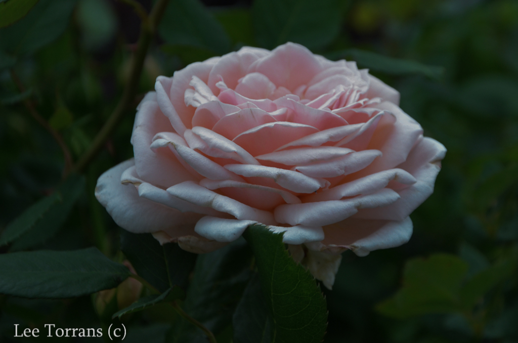 Quietness_Pale_Pink_Shrub_Rose_Texas_Lee_Ann_Torrans-2