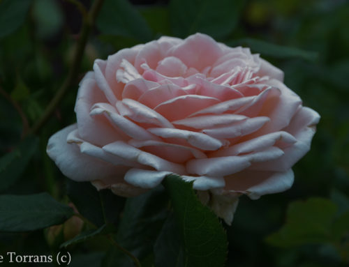 Quietness Pale Pink Shrub Rose for Texas