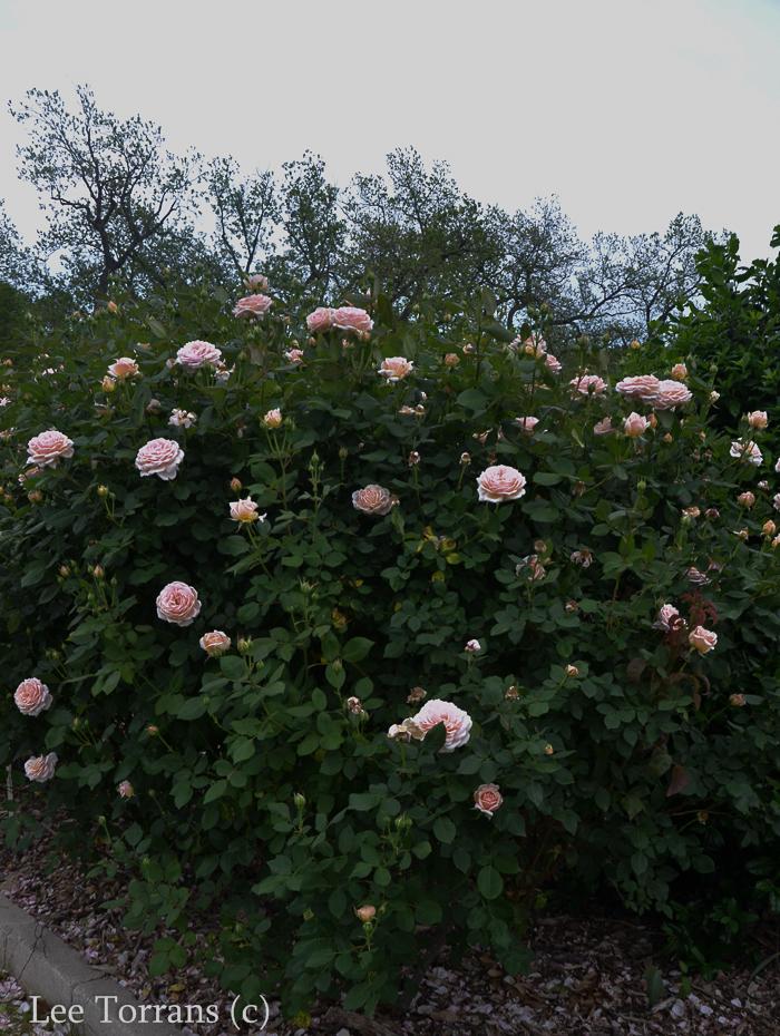 Quietness a pale pink shrub rose